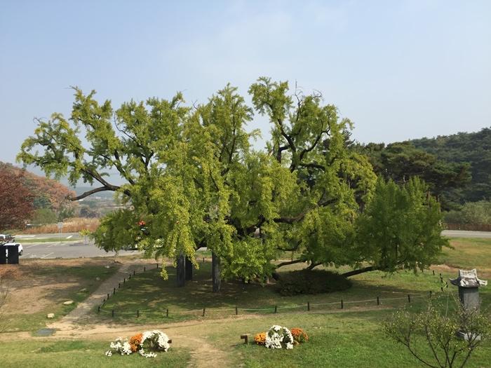 도동서원 은행나무.jpg